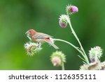 a male purple finch  haemorhous ...   Shutterstock . vector #1126355111