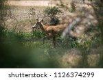 marsh deer  blastocerus...   Shutterstock . vector #1126374299