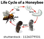 life cycle of a honeybee... | Shutterstock .eps vector #1126379531