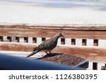 mourning dove bird perched on... | Shutterstock . vector #1126380395