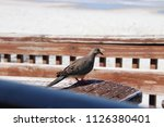 mourning dove bird perched on... | Shutterstock . vector #1126380401