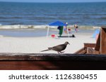 mourning dove bird perched on... | Shutterstock . vector #1126380455