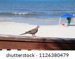 mourning dove bird perched on... | Shutterstock . vector #1126380479