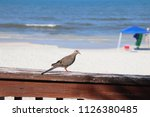 mourning dove bird perched on... | Shutterstock . vector #1126380485