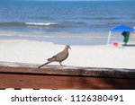 mourning dove bird perched on... | Shutterstock . vector #1126380491