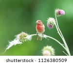 colorful male purple finch ...   Shutterstock . vector #1126380509