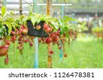 insectivorous plant ...   Shutterstock . vector #1126478381