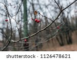 sprig of hawthorn in late... | Shutterstock . vector #1126478621