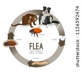 flea life cycle circle with... | Shutterstock .eps vector #1126592474
