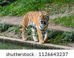 the siberian tiger  panthera... | Shutterstock . vector #1126643237