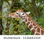 the giraffe  giraffa... | Shutterstock . vector #1126661324