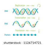 dna replication  transcription... | Shutterstock .eps vector #1126714721