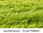 Wheat blowing in the wind on Dartmoor National Park - stock photo