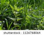 grass in the garden early in... | Shutterstock . vector #1126768064