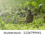 thrush bird on grass light...   Shutterstock . vector #1126799441