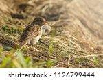 sparrow in sunny summer morning ...   Shutterstock . vector #1126799444