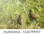 couple of sparrows in sunny...   Shutterstock . vector #1126799447