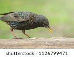 starling feeding seeds in light ...   Shutterstock . vector #1126799471