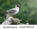 grey molt gull in summer light...   Shutterstock . vector #1126799474