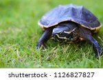turtle is walking on the grass... | Shutterstock . vector #1126827827