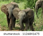curious baby elephants approach ... | Shutterstock . vector #1126841675