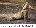 water dragon lizard australian... | Shutterstock . vector #1126926431