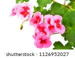 balmy geranium flower  isolated ... | Shutterstock . vector #1126952027
