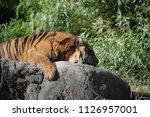 siberian tiger  panthera tigris ... | Shutterstock . vector #1126957001