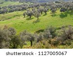 olive trees and green grass in... | Shutterstock . vector #1127005067