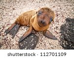 Baby Galapagos Sea Lion Lookin...