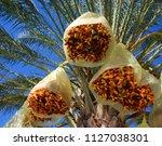date palms  phoenix dactylifera ... | Shutterstock . vector #1127038301