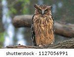 Stock photo buffy fish owl ketupa ketupu or malay fish owl sitting on a log the feathers are edged tawny and 1127056991