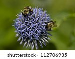 Two Bumblebees Pollinating A...