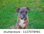 Old Sad Dog Breed Boxer Outsid...