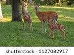 A Doe And Its Two White Tailed...