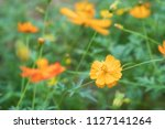 field of blooming yellow cosmos ... | Shutterstock . vector #1127141264