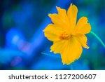 beautiful yellow cosmos flower  ... | Shutterstock . vector #1127200607