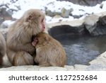 Snow Monkey  Japanese Macaque ...