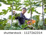 a man harvesting fig in the... | Shutterstock . vector #1127262314