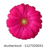 Gerbera Flower Of Magenta Colo...