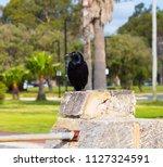 sleek shiny  australian black ... | Shutterstock . vector #1127324591