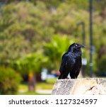 sleek shiny  australian black ... | Shutterstock . vector #1127324597