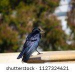 sleek shiny  australian black ... | Shutterstock . vector #1127324621