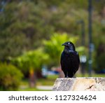 sleek shiny  australian black ... | Shutterstock . vector #1127324624