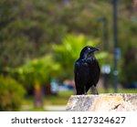 sleek shiny  australian black ... | Shutterstock . vector #1127324627