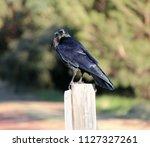 sleek shiny  australian black ... | Shutterstock . vector #1127327261
