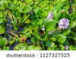 eichhornia crassipes  water... | Shutterstock . vector #1127327525