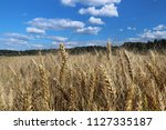 a field of rye and barley....   Shutterstock . vector #1127335187