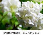 beautiful white viburnum... | Shutterstock . vector #1127349119