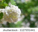 beautiful white viburnum... | Shutterstock . vector #1127351441